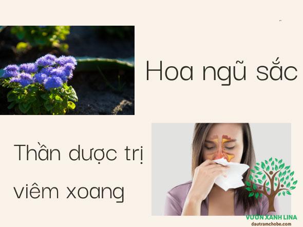 hoa cứt lợn trị viêm xoang